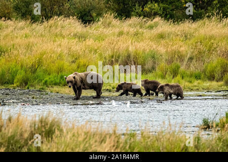 Sow Brown Bear number 402 and her three yearling cubs walk along the lower Brooks River lagoon in search of Sockeye Salmon at Katmai National Park and Preserve September 16, 2019 near King Salmon, Alaska. The park spans the worlds largest salmon run with nearly 62 million salmon migrating through the streams which feeds some of the largest bears in the world. - Stock Photo