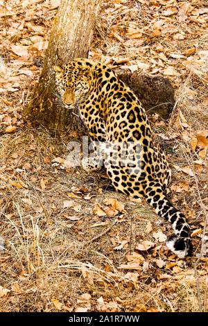 Amur leopard, Panthera pardus orientalis,  Primorsky Krai. Russia, Asia - Stock Photo