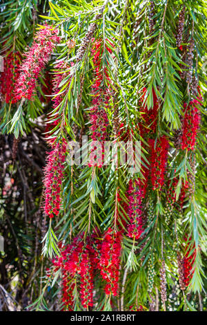 University of California at Santa Cruz Arboretum, Bottlebrush Tree - Stock Photo