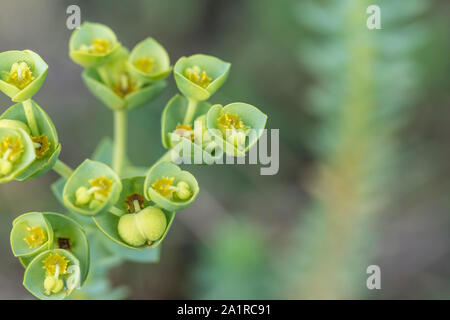 Flowers of Sea Spurge / Euphorbia paralias growing on a Cornwall beach. Former medicinal plant used in herbal remedies but has toxic side effects. - Stock Photo
