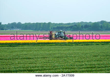 A farmer sprays rows of colorfulTulips on his field near Lisse, South Holland, Netherlands - Stock Photo