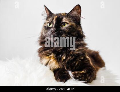 Portrait of tortoiseshell cat female on light background - Stock Photo