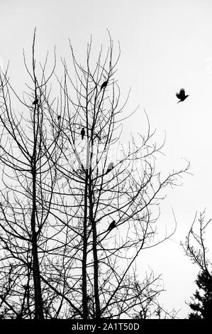 Silhouetted birds in birch tree with one in flight - Stock Photo