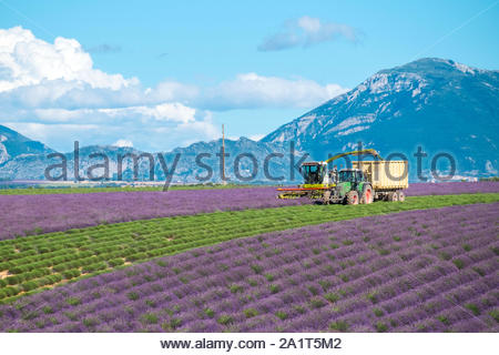 Workers harvesting rows of lavender in a field in early July on the Plateau de Valensole near Puimoisson, Provence-Alpes-Côte d'Azur, France