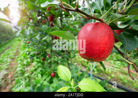 red apple orchard in autumn - Stock Photo