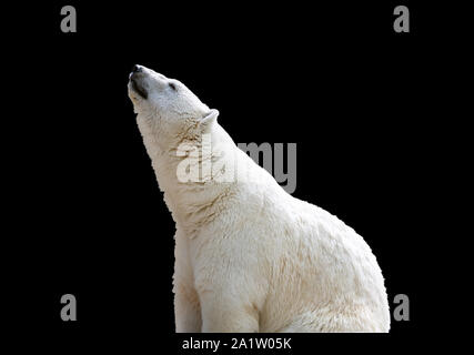 white polar bear isolate on black background Stock Photo