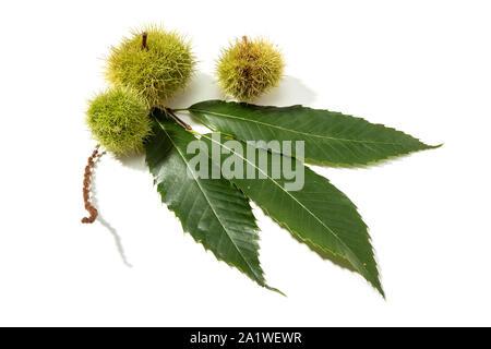 Sweet Chestnut and husk isolated on white background. Castanea sativa - Stock Photo