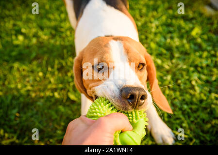 Tug of war with beagle dog on a grass in sunny summer day - Stock Photo