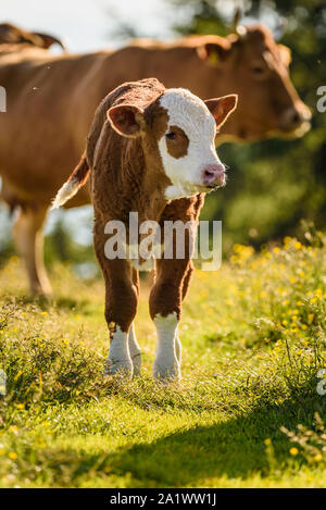 Cows on a meadow in Alps Austria. Schockl mountain above Graz place to visit - Stock Photo