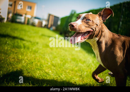 Young American Staffordshire terrier Amstaff having fun running in a garden - Stock Photo