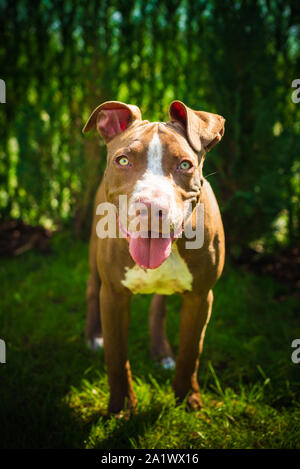 Young American Staffordshire pitbull dog outdoors in summer day - Stock Photo