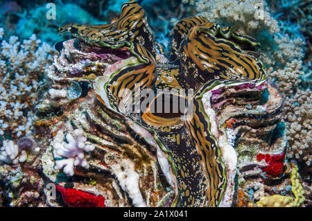Mantle of Giant clam [Tridacna gigas].  West Papua, Indonesia.  Indo-West Pacific. - Stock Photo