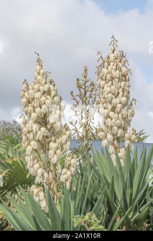 Mass of bell-shaped white Yucca / Yucca filamentosa flowers. Thought to be Y. filamentosa since leaves edged with curly filaments but could be another - Stock Photo