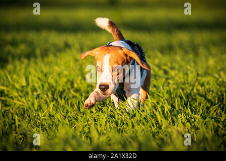 A Beagle dog running in a grass field in sunset towards camera - Stock Photo