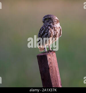 Little Owl (Athene noctua) sat on a fencepost in the Peak District NP. - Stock Photo