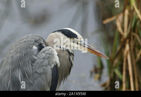 A head shot of a Grey Heron, Ardea cinerea, hunting for food in the reeds at the edge of a lake. - Stock Photo