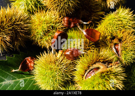 the fruits of the prickly chestnut are ripe in autumn - Stock Photo
