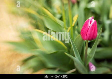 tulip with pink petals tips white