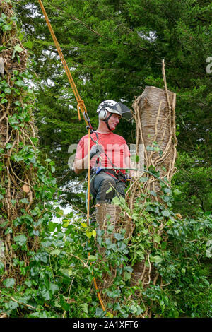 Tree Surgeon or Arborist with safety ropes resting up a tree while cutting it down. - Stock Photo