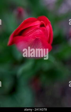 still closed red tulip blossom