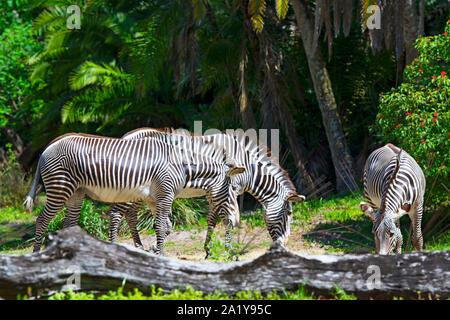 Zebra, Zebras (Guagga) at Animal Kingdom, Disney World, Orlando, Florida - Stock Photo