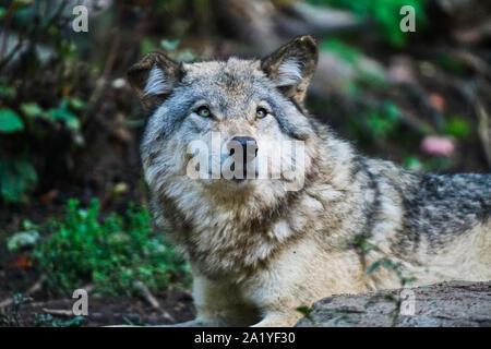 Montreal,Quebec,Canada,September 29,2019.Grey wolves in a wildlife park reserve in Montebello,Quebec,Canada.Credit:Mario Beauregard/Alamy News - Stock Photo