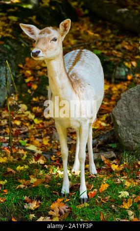 Montreal,Quebec,Canada,September 29,2019.Deer in a wildlife park reserve in Montebello,Quebec,Canada.Credit:Mario Beauregard/Alamy News - Stock Photo