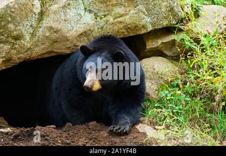 Montreal,Quebec,Canada,September 29,2019.Black bear in a wildlife park reserve in Montebello,Quebec,Canada.Credit:Mario Beauregard/Alamy News - Stock Photo