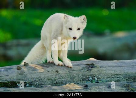 Montreal,Quebec,Canada,September 29,2019.An arctic fox in a wildlife park reserve in Montebello,Quebec,Canada.Credit:Mario Beauregard/Alamy News - Stock Photo