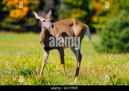 Montreal,Quebec,Canada,September 29,2019.Deers in a wildlife park reserve in Montebello,Quebec,Canada.Credit:Mario Beauregard/Alamy News - Stock Photo
