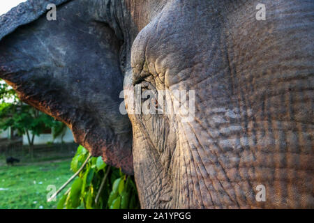 Street scene in Kaziranga, Golaghat District, Bochagaon, Assam, India: close up view of the brown eye of a working Indian Elephant carrying branches - Stock Photo
