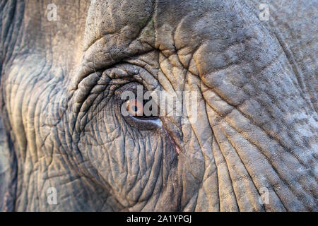 Close up of the brown eye and thick eyelashes of a working Indian Elephant in a street scene in Kaziranga, Golaghat District, Bochagaon, Assam, India - Stock Photo