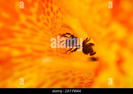 Stingless bee (Trigona spp) walking on the orange clor channa petals in the bright morning sun - Stock Photo