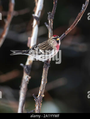 Male Redpoll Perched in a Tree - Stock Photo