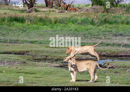 Lion leaping over mud hole with companion in front. Lion appears to be leaping over his companion. - Stock Photo