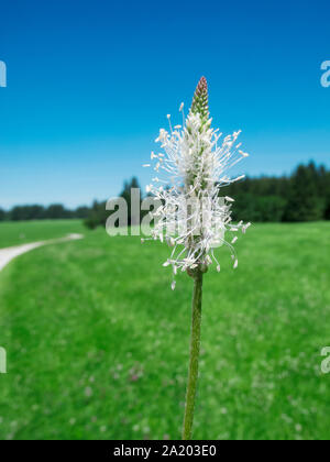 Close-up of the blossom of ribwort plantain (Latin: Plantago lanceolata) on a meadow landscape in Bavaria with blue cloudless sky. - Stock Photo