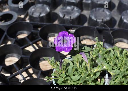 Purple Petunia in Bloom - Stock Photo