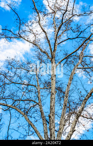 Platanus tree bare December branches against blue cloudy sky in Sofia, Bulgaria, low-angle view - Stock Photo