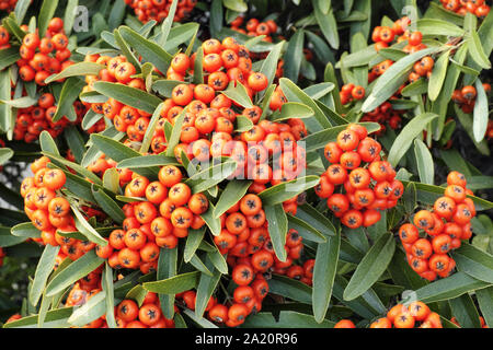the red berries and foliage of scarlet firethorn - Stock Photo