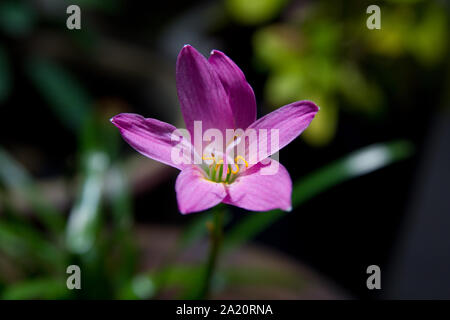 wild purple candida species flower with green blurry background - Stock Photo