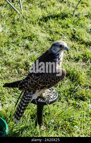 A hybrid Gyr/Saker falcon perched on a stand in a display area between flying displays at the 2019 Frome Cheese show - Stock Photo