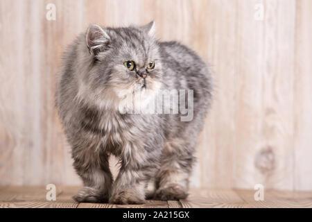 Fluffy grey persian cat