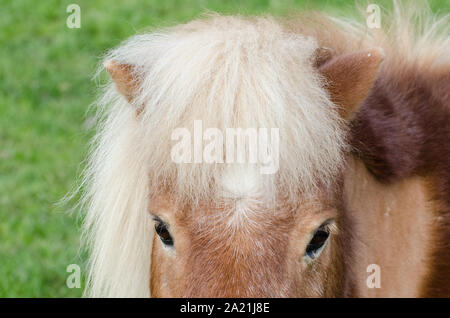 Equus ferus caballus, grazing domestic horse on a pasture in the countryside in Bavaria, Germany - Stock Photo
