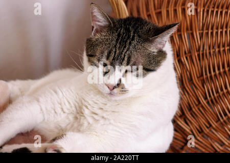 Portrait of lovely cat at home. View close up of cute beautiful domestic cat lying, rests, enjoys and sleeps in living room of house. Domestic animal. - Stock Photo