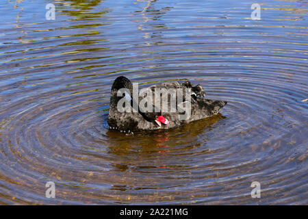 A black swan creating concentric rings in the river at Dawlish, while preening. - Stock Photo