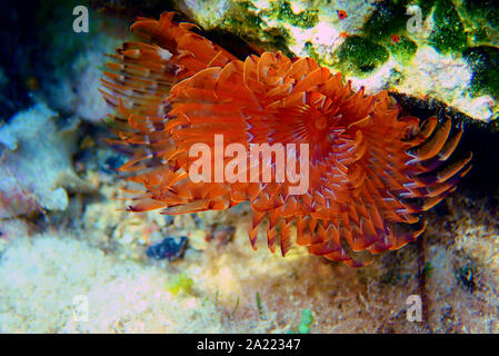 The spiral tube worm Spirographis spallanzani - Stock Photo