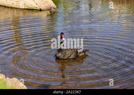 A black swan creating concentric rings in the river at Dawlish. - Stock Photo