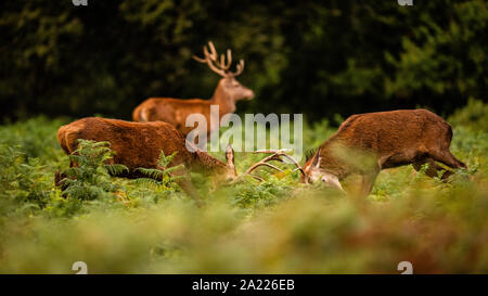 2 large male Red Deer lock antlers in the Rutting Season, with a 3rd stag in background - Stock Photo