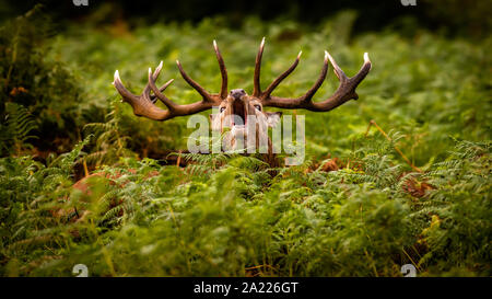 A large Red Deer stag bellowing in the woodland bracken during the territorial rutting season - Stock Photo
