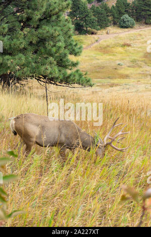 Buck with head down eating grass in colorado - Stock Photo